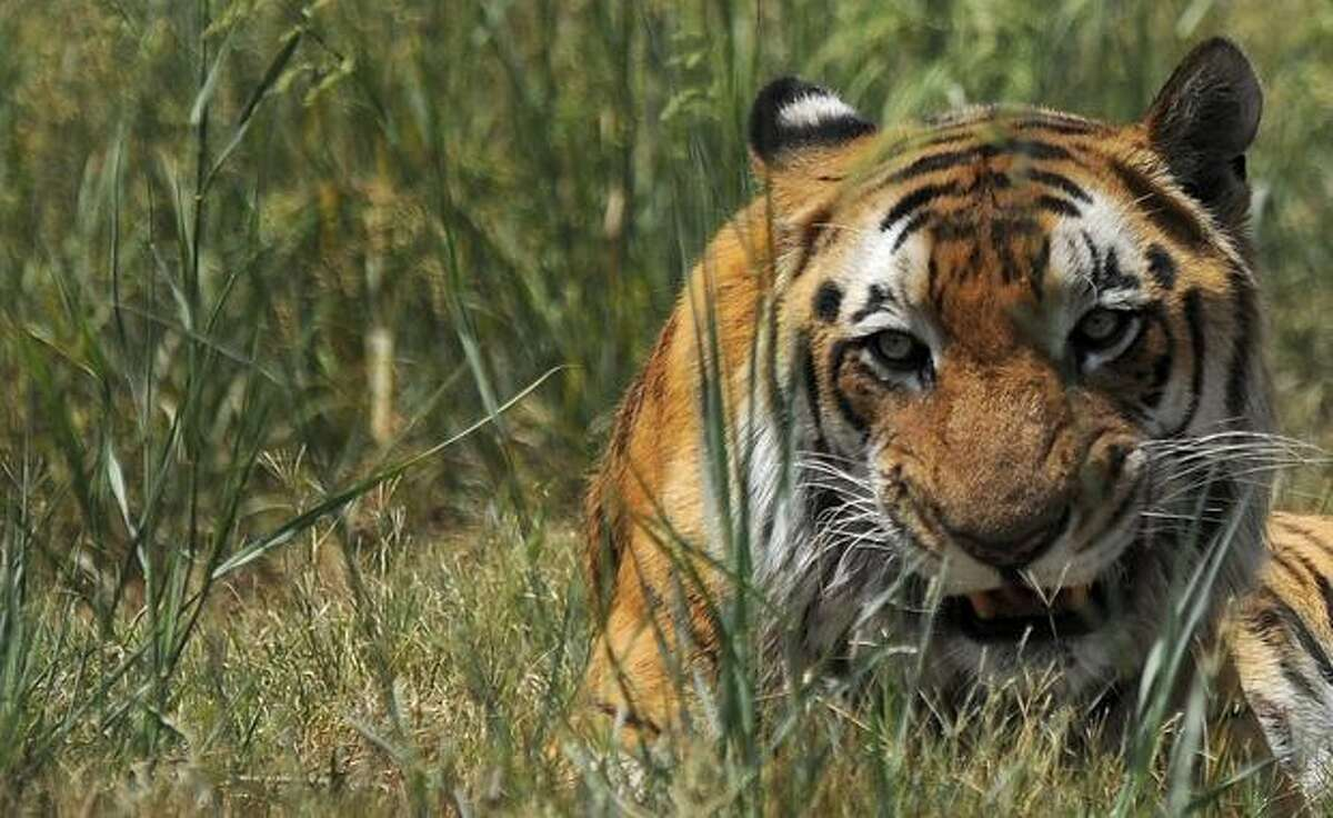 A tiger rests in its enclosure at the Zoological Park in New Delhi, India on Wednesday. India recently launched a software enabling forestry officials to intensify their surveillance of its endangered tigers, prevent poaching and monitor human movement in the sanctuaries.