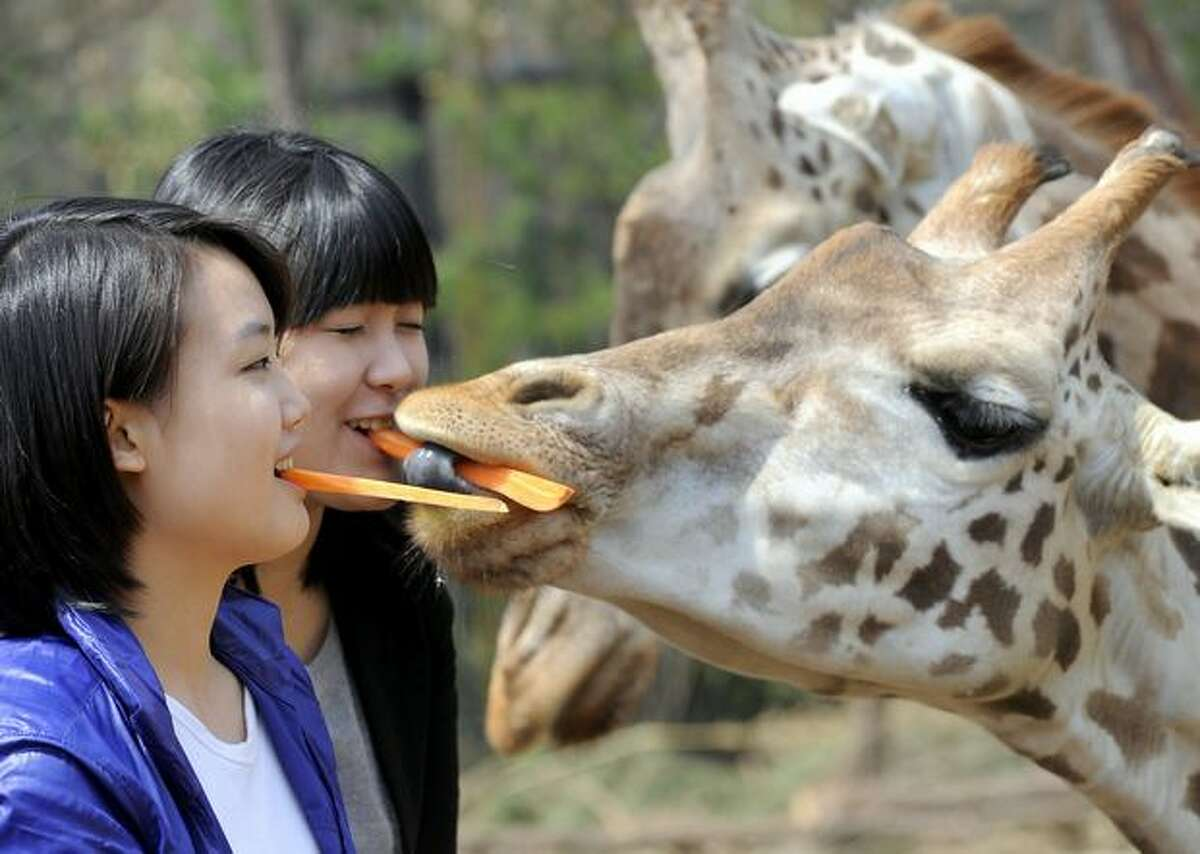 South Korean women feed pieces of carrot to giraffes with their mouths during an event at the Everland amusement park in Yongin, South Korea on Thursday. The event signaled the opening of a safari for grass-eating animals at the park.