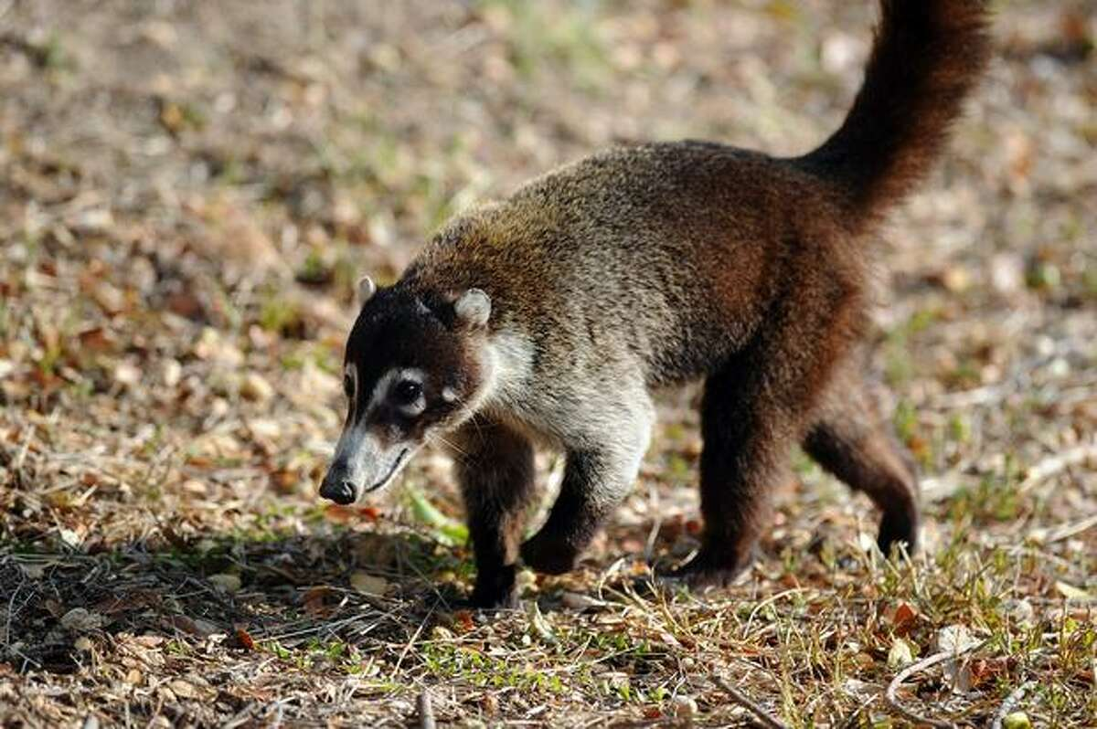 A coatimundi is seen at the National Palo Verde Park on Thursday in Guanacaste, some 220 kilometers Northeast from San Jose. Recently the National Park, one of the most important sanctuary for migratory birds and others animal species, was affected for a fire forest.