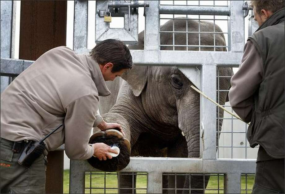 A zookeeper cleans the foot of a Asian elephant in Dierenrijk Europa zoo in Nuenen, Netherlands. The zoo takes care for three Asian elephants, conducting blood tests, threating wounds and cutting their nails. Photo: Getty Images / Getty Images