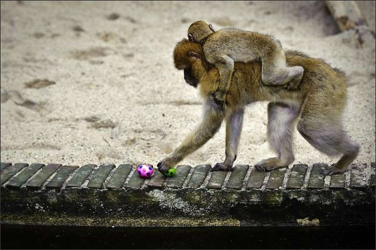 A Berber monkey with offspring plays with two Eastern eggs in their residence in Ouwehands Zoo in Rhenen, Netherlands.