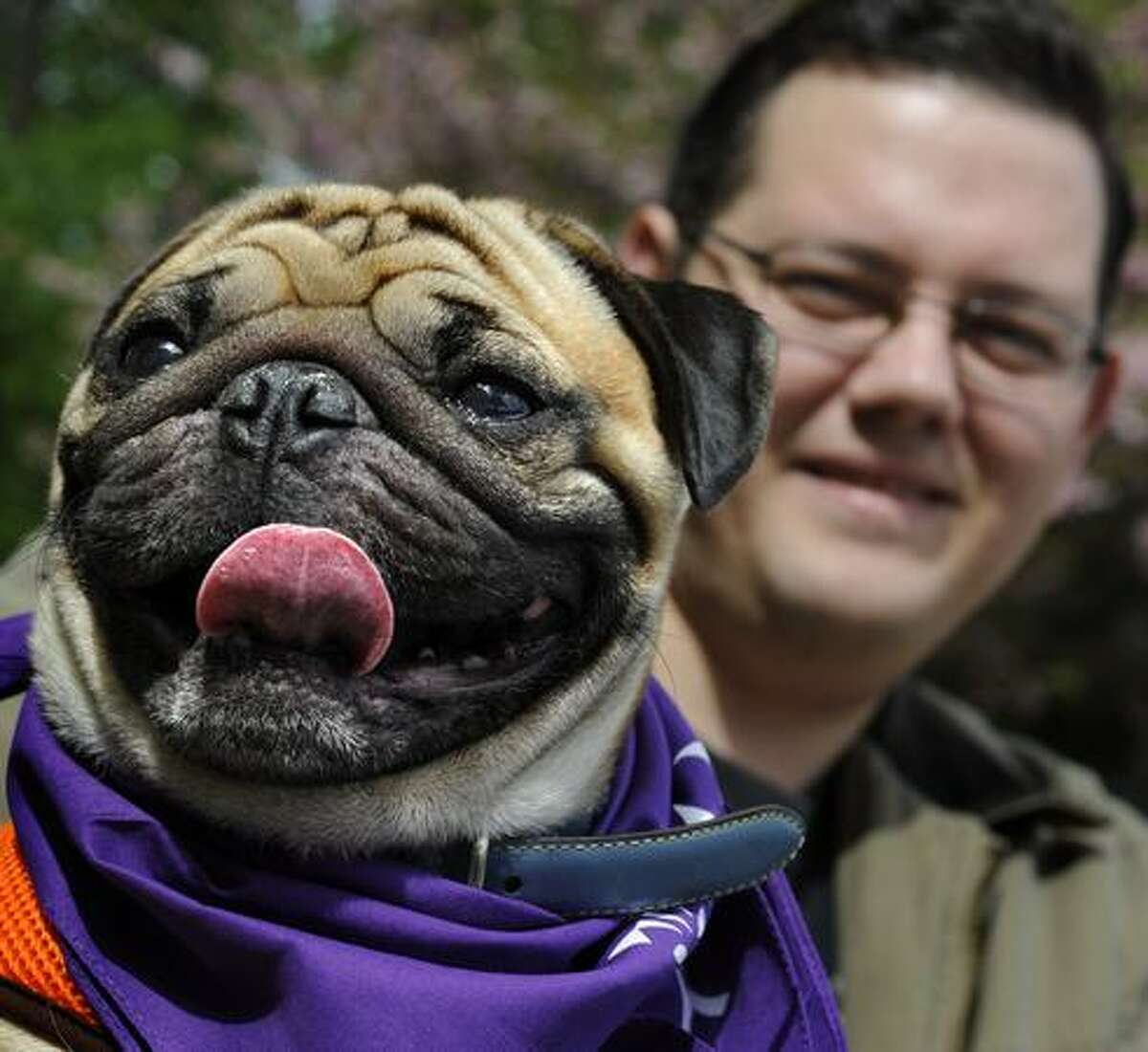 Rosco, a pug, with his owner, Steve Sweet, 29, from Perry Hall, Md. take part in the Maryland SPCA March for the Animals at Druid Hill Park on Sunday in Baltimore, Md. (AP Photo/The Baltimore Sun, Algerina Perna )