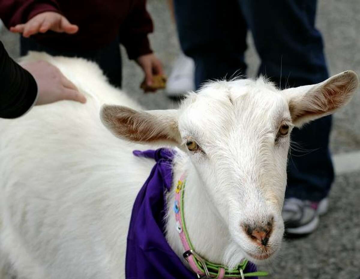 Dandalyon, a mixed breed dairy goat owned by William Lyons and Dr. Sarah Trembley, joined other pets and owners for the Maryland SPCA March for the Animals at Druid Hill Park on Sunday in Baltimore, Md. (AP Photo/The Baltimore Sun, Algerina Perna )