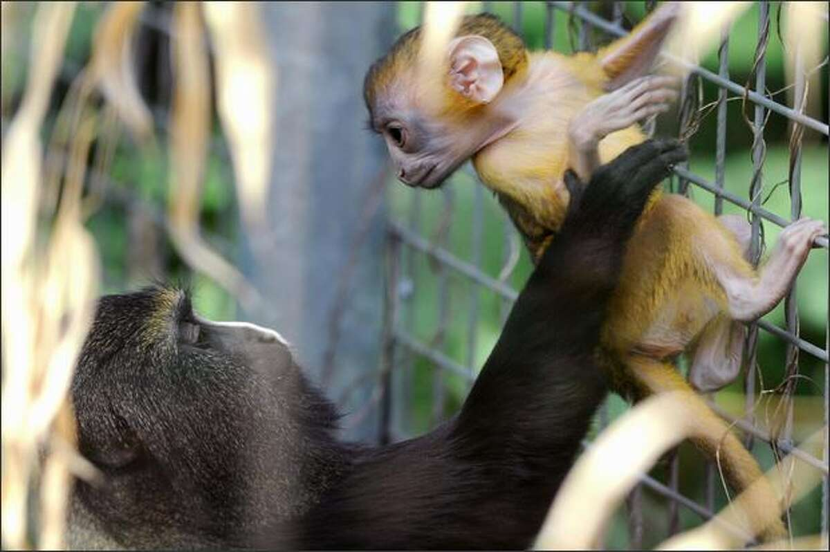 A newly-born owl-faced baby monkey (or Cercopithecus Hamlyni) looks at its mother