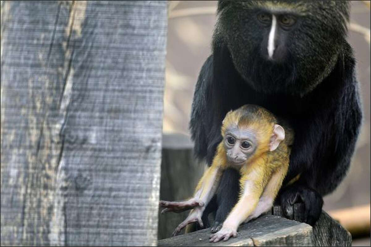 A newly-born owl-faced baby monkey (or Cercopithecus Hamlyni) poses with its mother