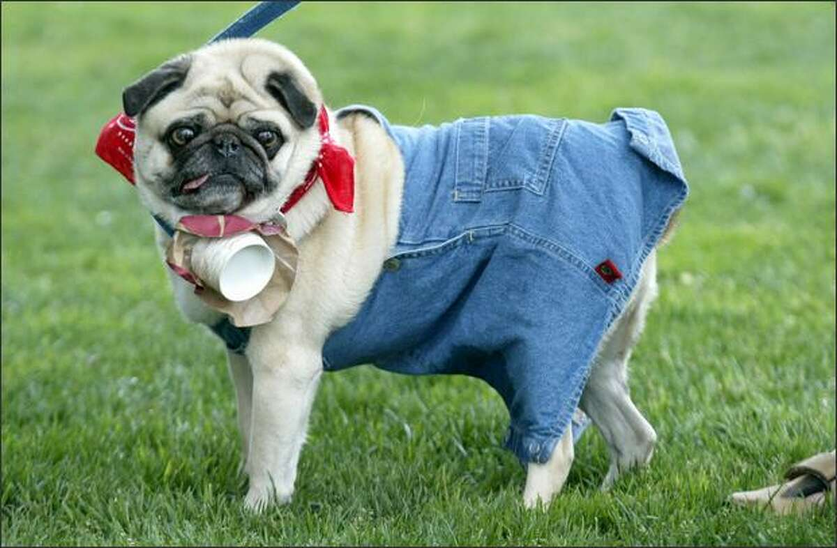 Zeus, a pug owned by Cathy Ingraham of West Seattle, won best costume with his farmer outfit.