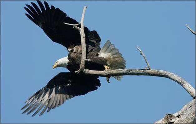 A bald eagle takes flight from a snag near its nest the Puyallup valley. Photo: Grant M. Haller, Seattle Post-Intelligencer / Seattle Post-Intelligencer