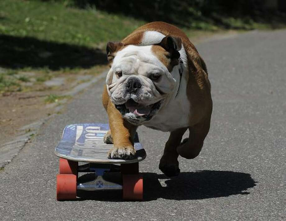 Tillman, the world's fastest skateboarding canine, gets in some practice as he runs in Central Park on Friday, April 23. Tillman, a 4-year old English Bulldog who was named after the late NFL star and US Army Ranger Pat Tillman, is here with his owner Ron Davis from Southern California and is sponsored by Natural Balance Pet Foods. Photo: Getty Images / Getty Images