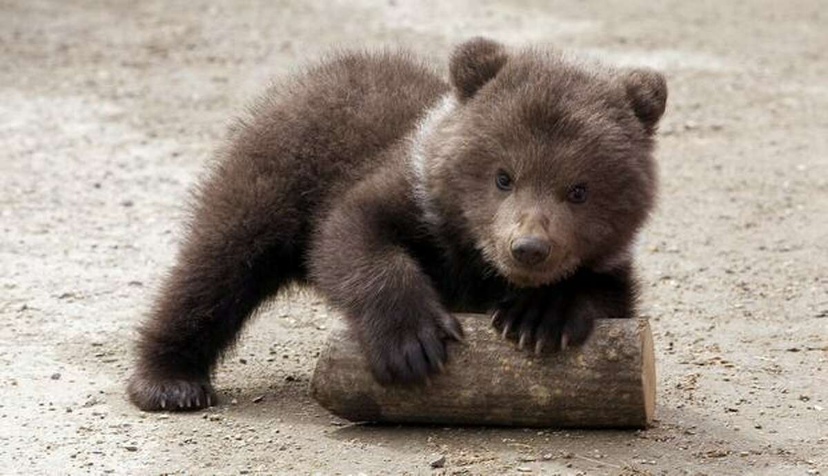 A three-month-old bear cub plays at the zoo in Stavropol, Russia on Wednesday, April 21.