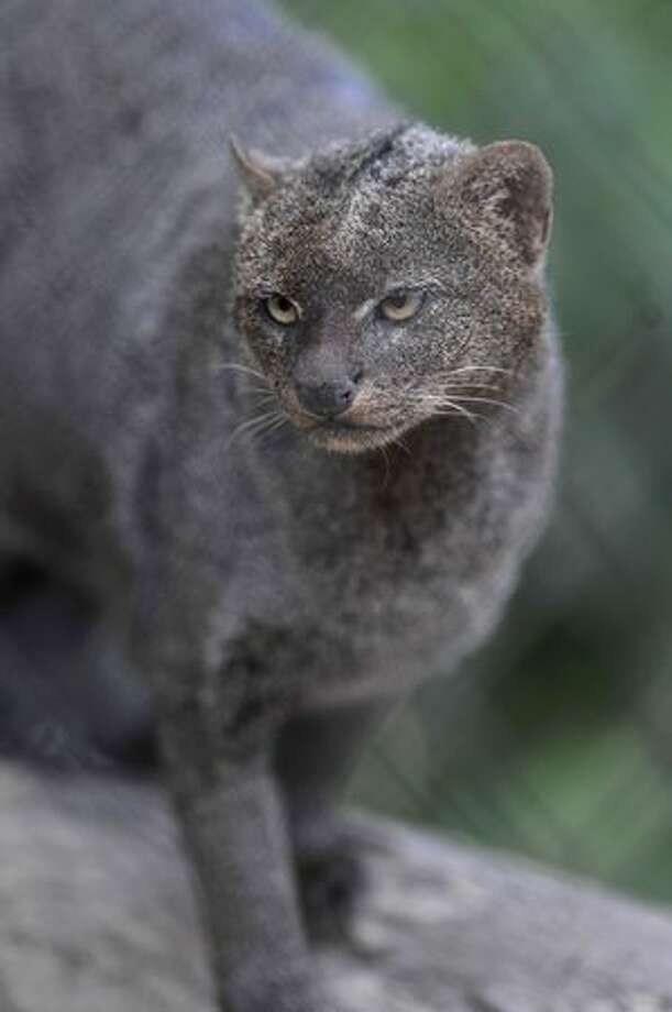 A jaguarundi is seen in Guatemala´s largest zoo, La Aurora, in Guatemala City. Photo: Getty Images / Getty Images