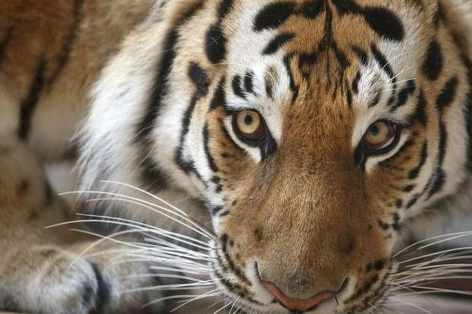 For some people cats and dogs just aren't enough.According to cnbc.com, 19.4 million American households have an exotic animal for a pet. Check out some of the most expensive animals you can own. For the full list, visit worthly.com. Photo: Getty Images / Getty Images