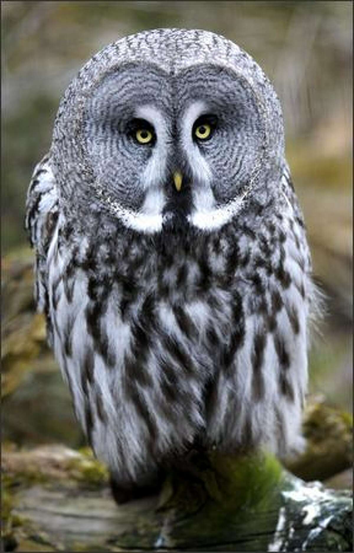 A grey owl stands still at Stockholm Zoo.