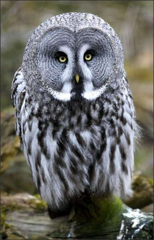 A grey owl stands still at Stockholm Zoo. Photo: Getty Images / Getty Images