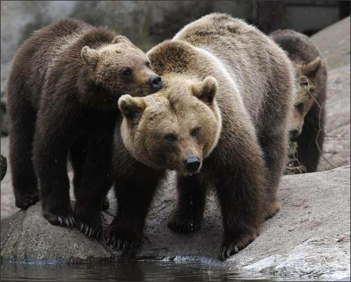 Brown bears are seen in Stockholm Zoo.