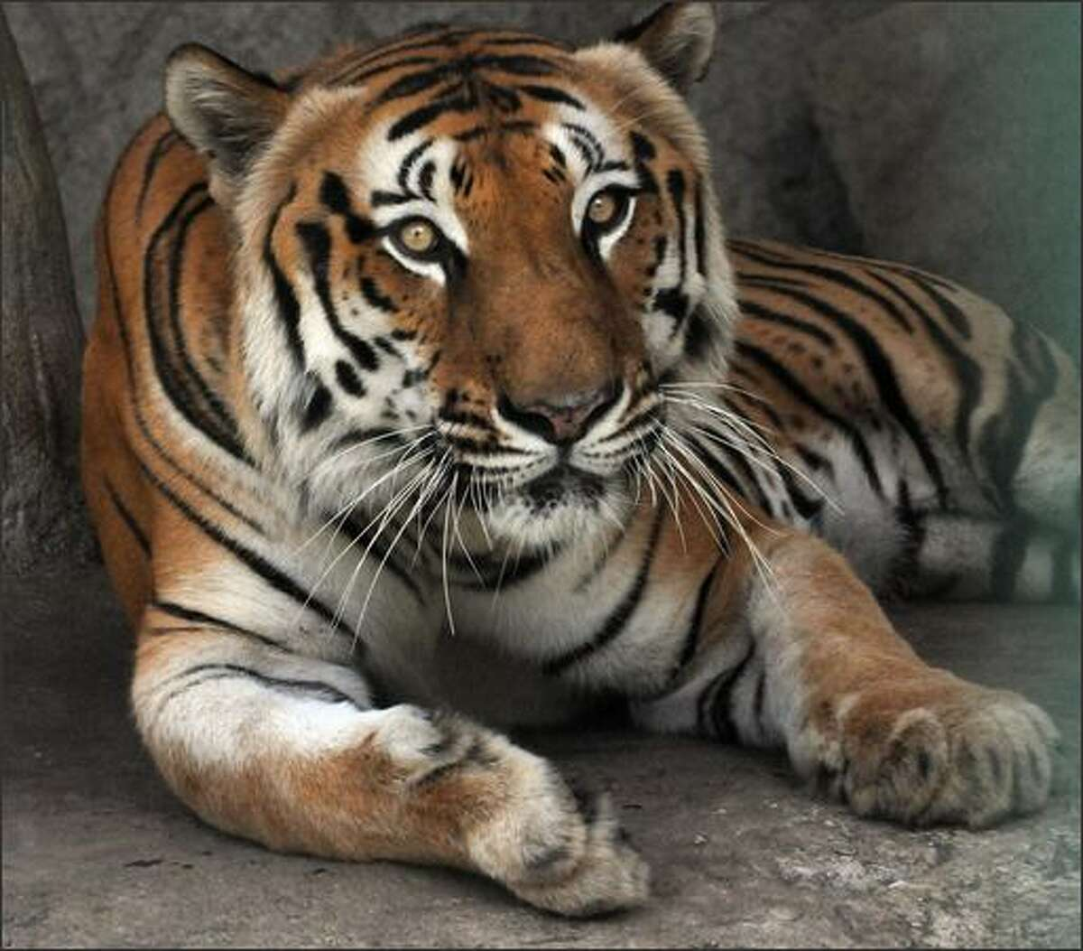 A Bengal Tiger (Pantera tigris tigris) lies in its cage at the Nicaraguan National Zoo during Earth Day in Managua. Different species of animals in danger of exctintion are in many zoos around the world.