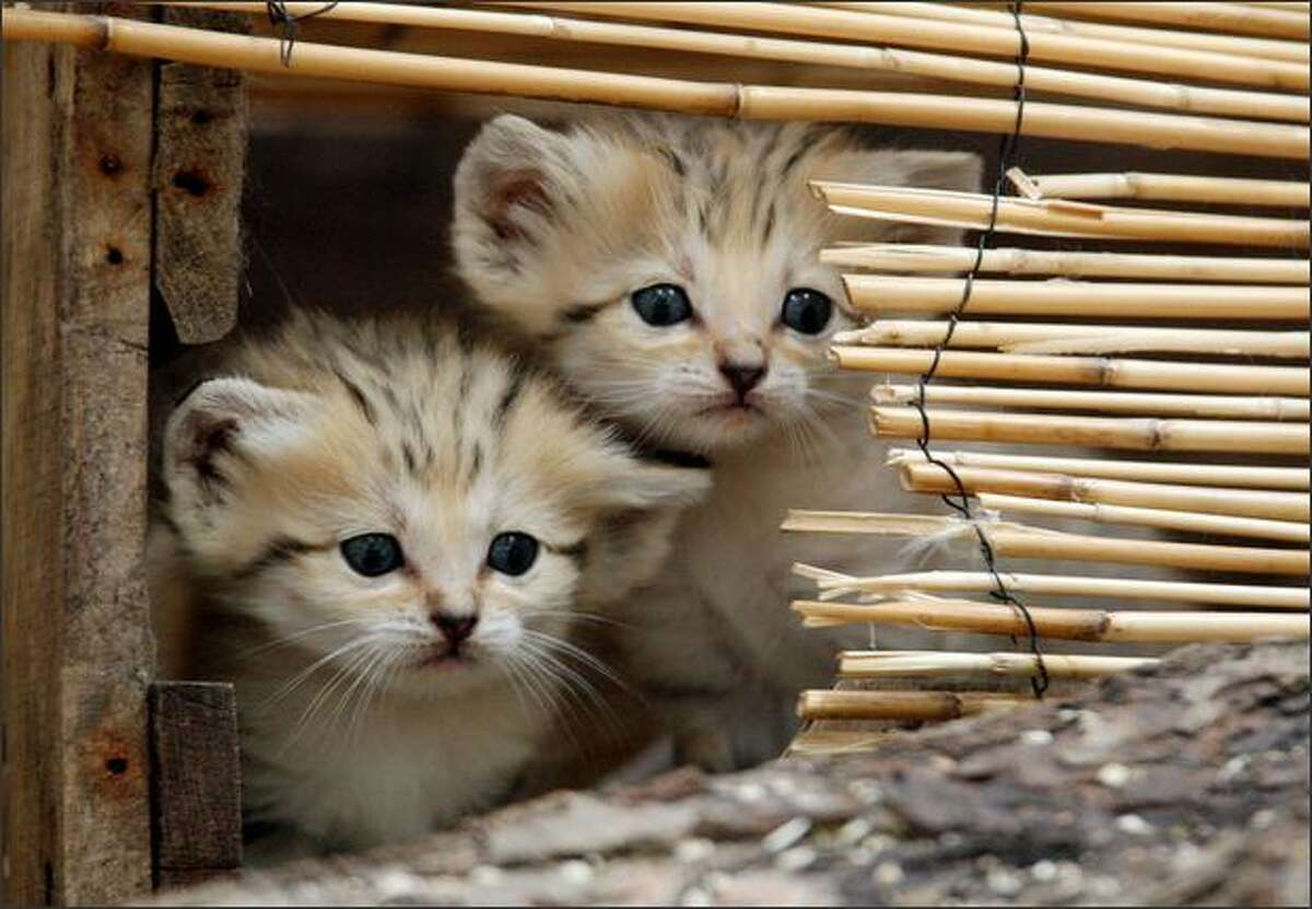 Two sand cat kittens are pictured at the Amneville zoo in eastern France. Sand cats are one of the smallest of the wild cats, living from the Sahara in North Africa to the arid regions of Iran and Pakistan in West and South Asia.