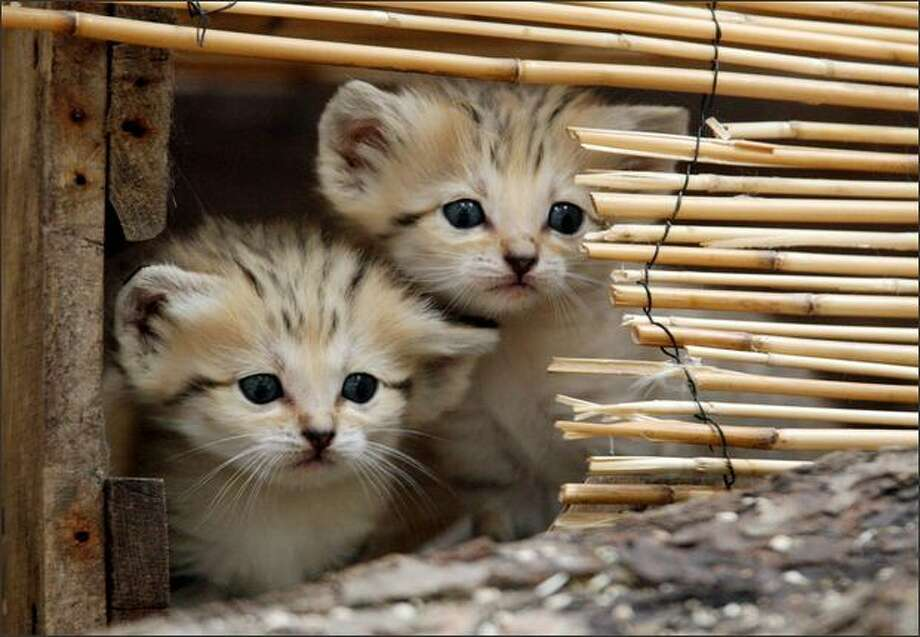 Two sand cat kittens are pictured at the Amneville zoo in eastern France. Sand cats are one of the smallest of the wild cats, living from the Sahara in North Africa to the arid regions of Iran and Pakistan in West and South Asia. Photo: Getty Images / Getty Images