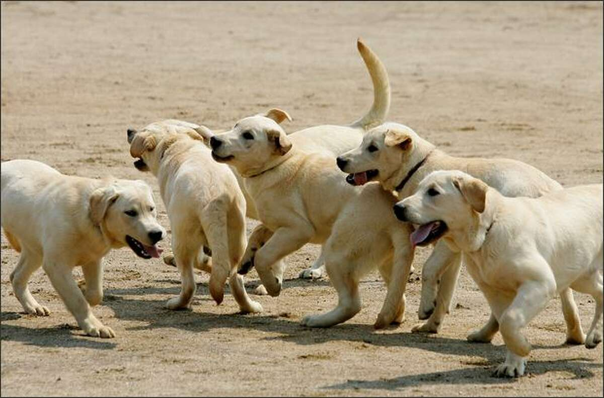 Cloned golden retriever puppies play at the dog training center of the Korea Customs Service in Incheon, South Korea. The seven clones were born in 2007 and have so far passed all tests during training as sniffer dogs. They will begin working for the Korean Customs Services later in the year.