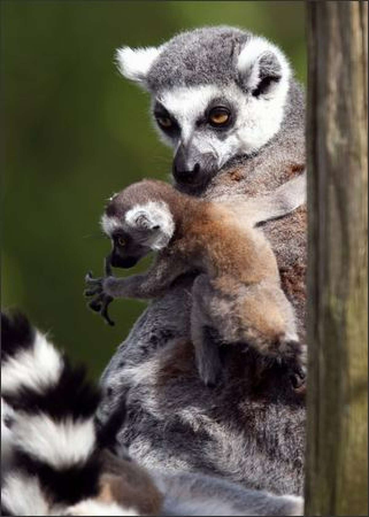 A baby ring-tailed lemur plays with adults at the Amneville zoo in France. The ring-tailed lemur is the most populous lemur in zoos worldwide.