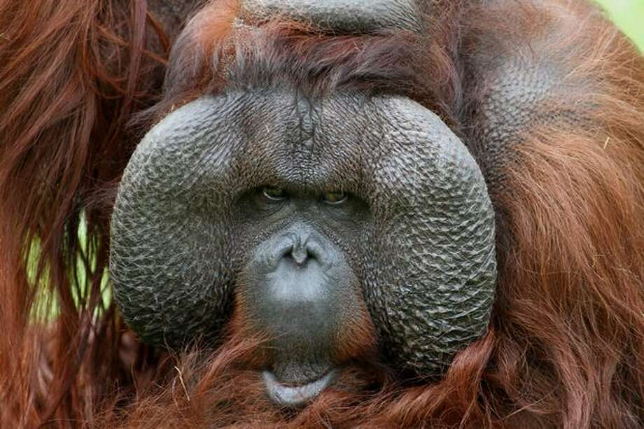 An orangutan named Karl is pictured on April 29, 2010 in Apeldoorn, Netherlands. The retired monkey will celebrate his 50th birthday, a rare feat for an orangutan, on May 1 with ex-caretakers and cake. Photo: Getty Images / Getty Images