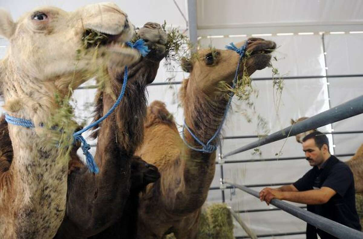 A man stands next to camels during the 5th edition of the International Exhibition of Agriculture in Meknes, on April 28, 2010. The event runs from April 28 to May 2, 2010.