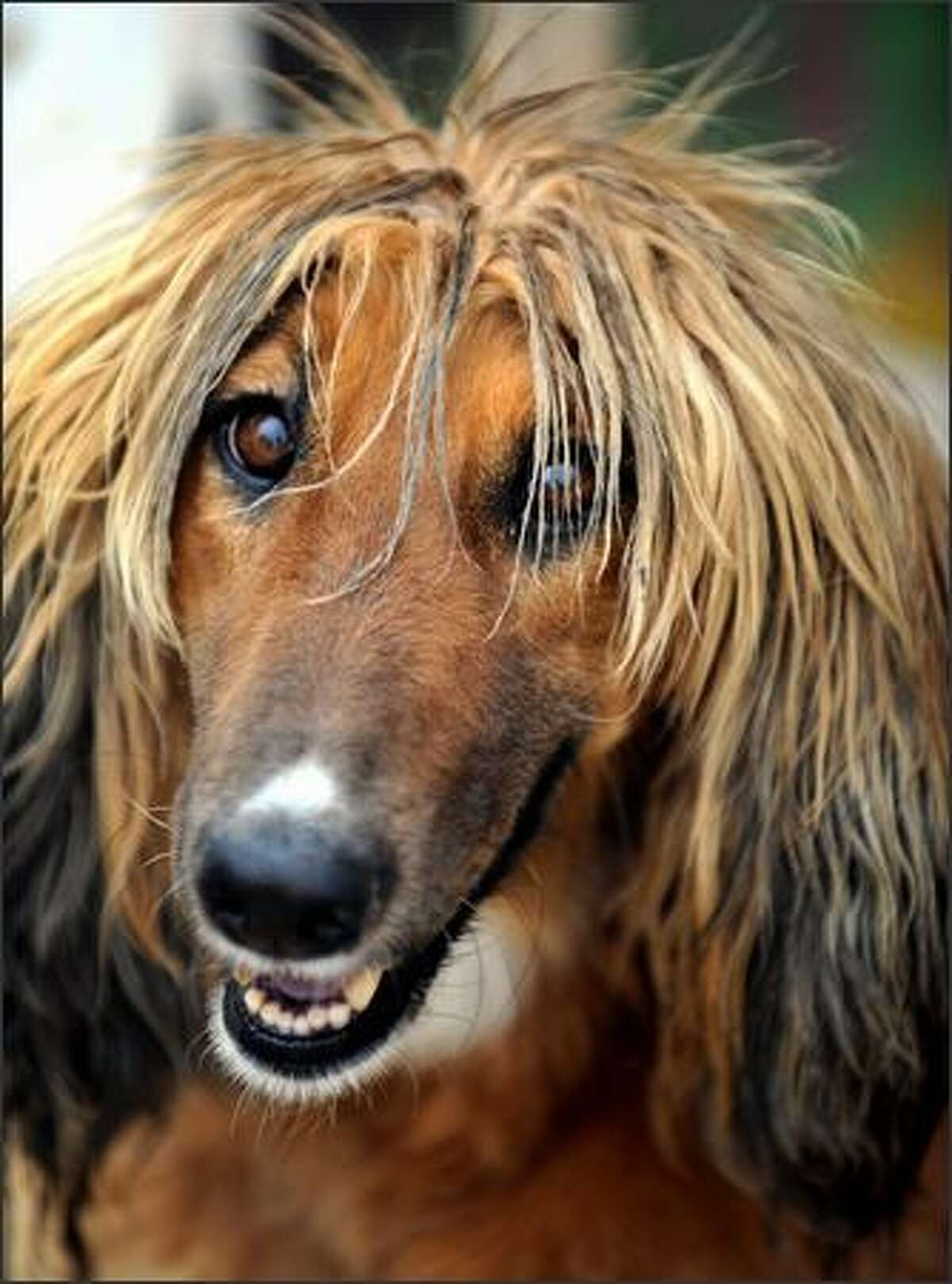 An Afghan hound, named Kamolika after an Indian soap star, is pictured at a camp for displaced people in Kabul on May4. Afghan hounds originate from around Afghanistan and Russia but are today not commonly seen in Afghanistan, where dogs are more often kept for security or fighting than as pets, even though they are prized internationally.