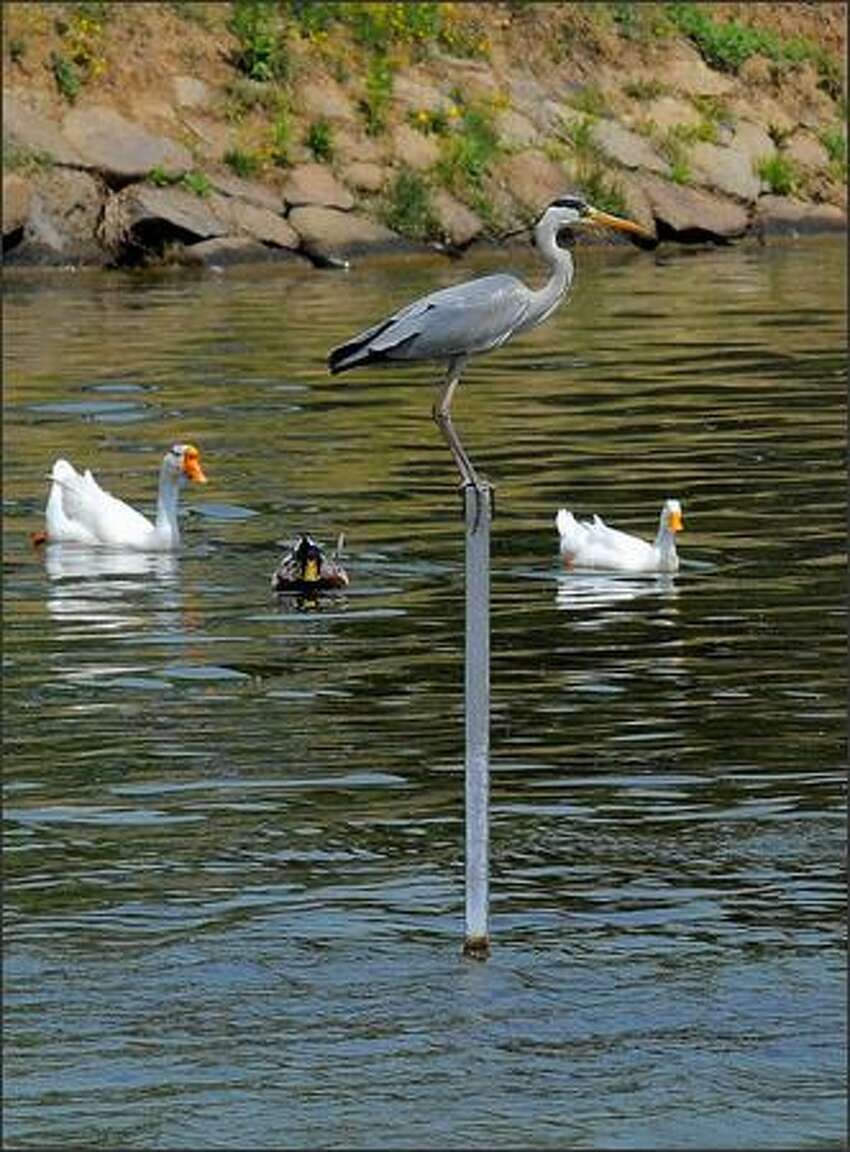 Wild birds swim in a lake near a small public aviary, which was hit by bird flu, in eastern Seoul, South Korea, on May 6. It was the first time bird flu has been reported in the South Korean capial since the first outbreak was reported at a provincial farm in early April.