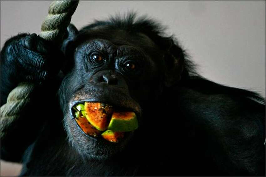A chimpanzee at the Edinburgh Zoo in Scotland eats at the zoo's new enclosure, the world's largest, which can hold up to 40 chimpanzees. The new Budongo Trail has three living pods connected by tunnels designed to simulate the animal's natural habitat. The chimpanzees can play on the world's largest climbing frame and man-made structure for apes.