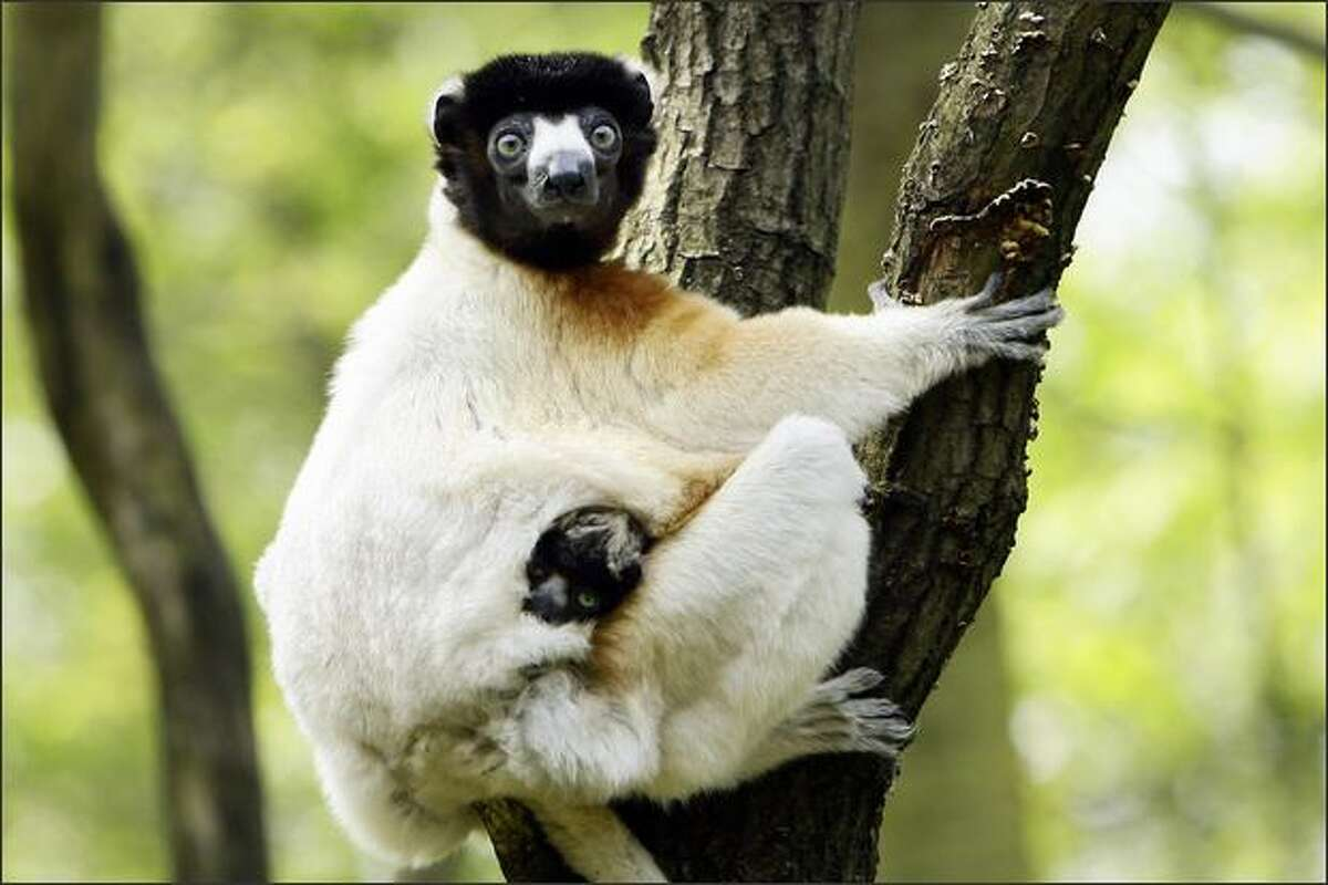 A Sifaka lemur named Holly comes outside for the first time with her newborn son, named Daholo, in Apelheul Zoo in Apeldoorn.