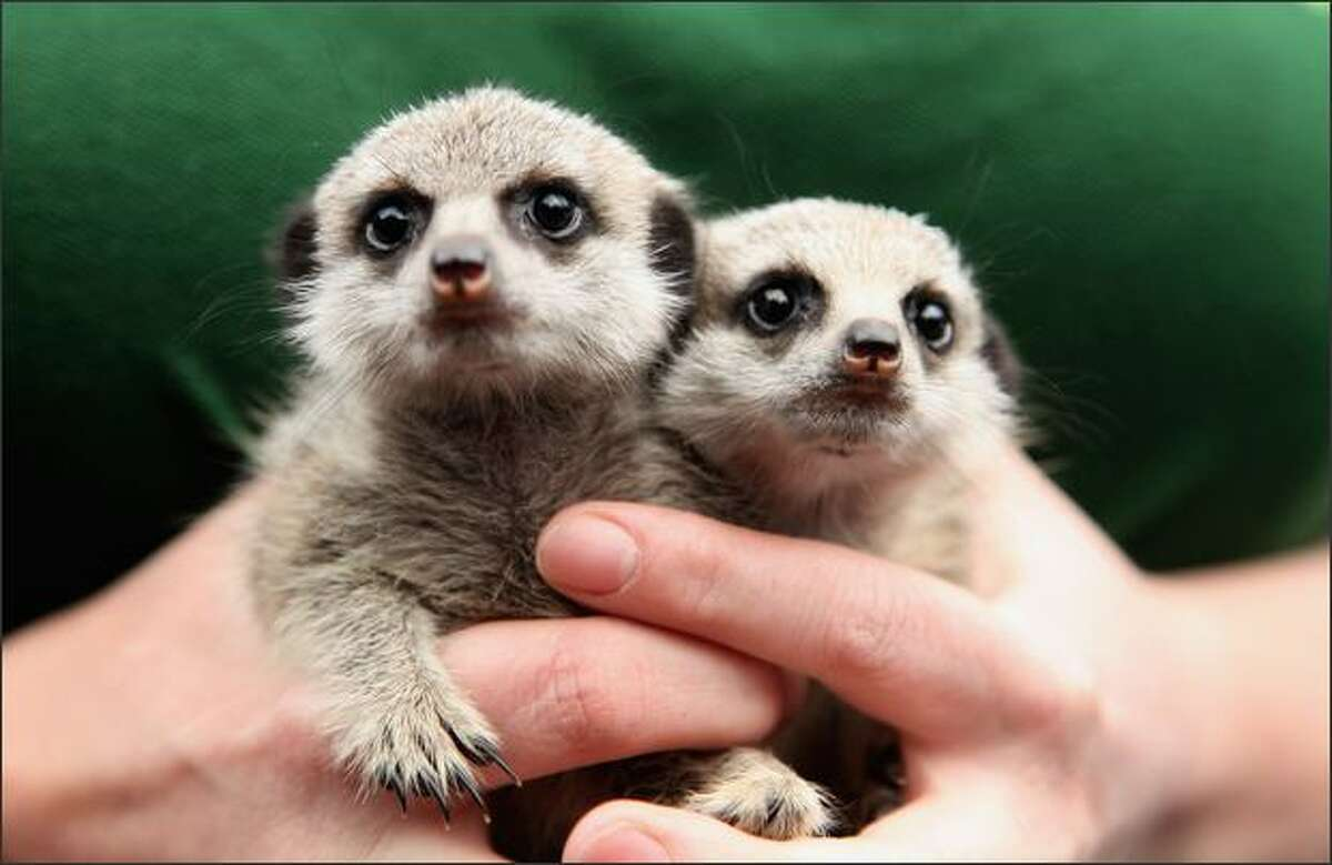 Suzi Hyde poses with a pair of baby meerkats named Lia and Roo at London Zoo in London, England. Suzi has been hand rearing the meerkats since their mother abandoned them.