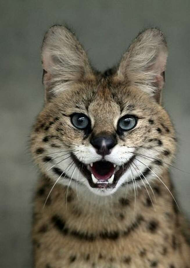 A serval hisses in its enclosure in a zoo in Leipzig, eastern Germany on May 11, 2010. The Leipzig zoo was created in June 1878 and is now, with 342 births of Siberian tigers in 50 years, one of the most successful breeding zoos. Photo: Getty Images / Getty Images