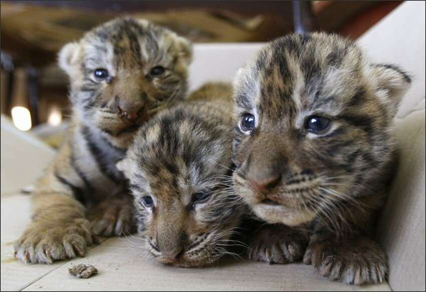 Bengal tiger cubs, named Dareen, Toleen and Lowrence, rest at Universal Animal Zoo near Amman, Jordan. The cubs were born two weeks ago to father Nahar and mother Shorook.