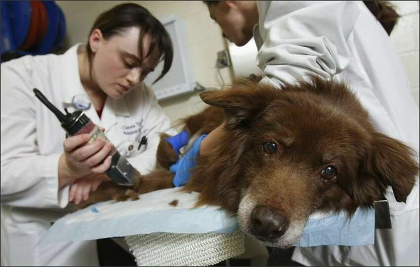 Dr. Chelsea Tripp, a resident of oncology, shaves the leg of Amber while preparing her for a dose of chemotherapy to treat her bladder cancer at the Veterinary Teaching Hospital at Washington State University in December. She is assisted by student Shannon Urza.