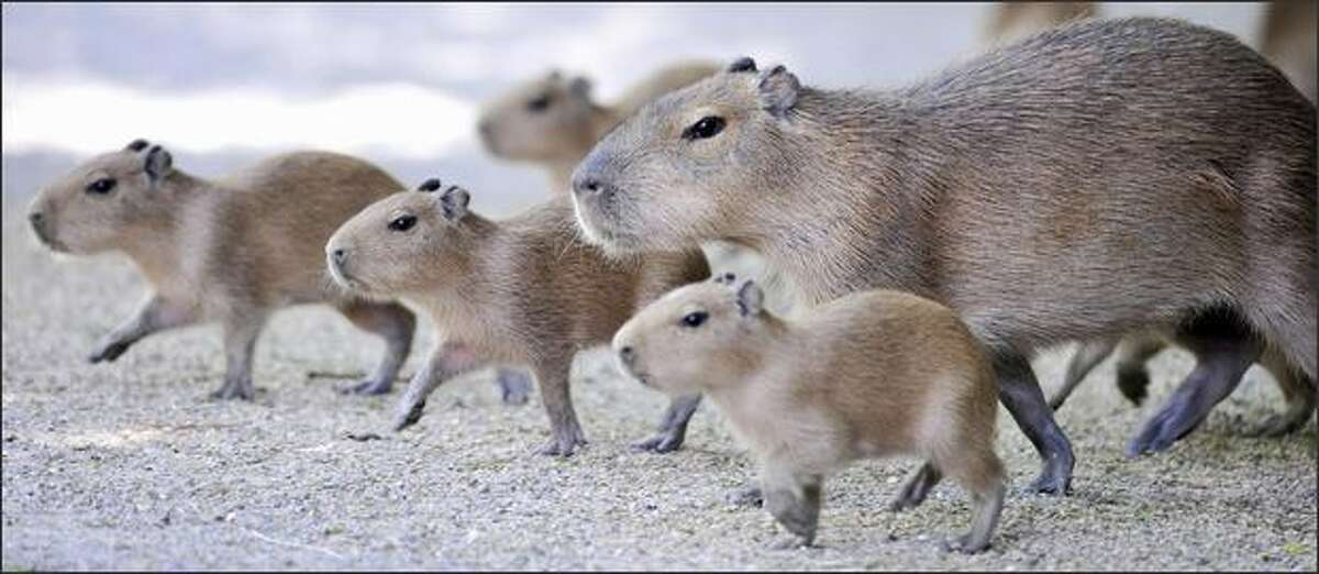 A family of capybara walk around their enclosure at the zoo in the northern German city of Hanover.