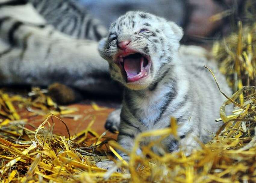 A white tiger cub yawns on May 20, 2010 at the Maubeuge zoo, northern France. The seven-year-old mother Radjah gave birth on May 9, 2010 to two white tigers belonging to a relatively rare species which only exist in captivity.