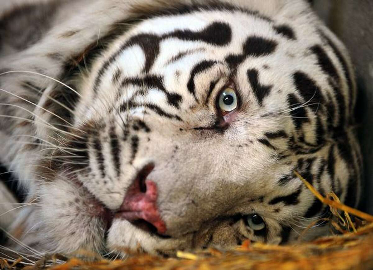 A white male tiger, named Schilang, lays down on May 20, 2010 at the Maubeuge zoo, northern France. Schilang is the father of two white tigers, born on May 9, 2010, belonging to a relatively rare species which only exist in captivity.