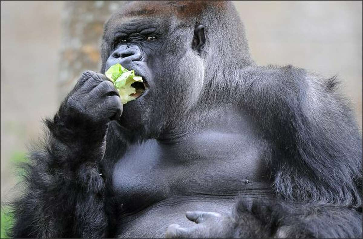 Kibabu the silverback gorilla enjoys a lettuce on his 32nd birthday in his habitat at Taronga Zoo in Sydney.
