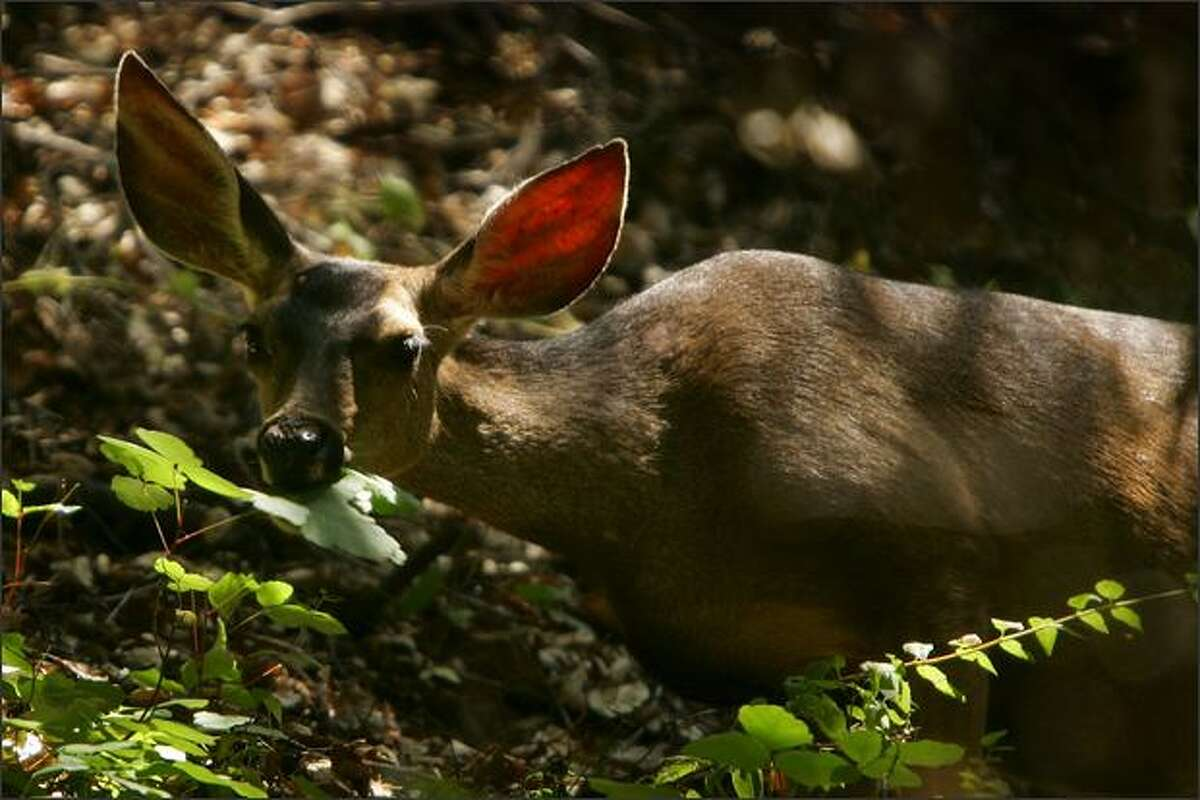 A mule deer moves through Santa Ynez Canyon in Topanga State Park in Los Angeles, California.
