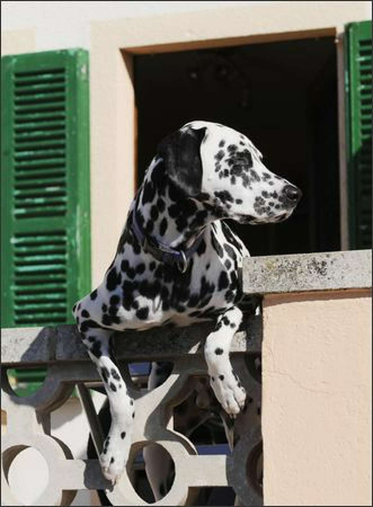 A Dalmatian dog leans over a balcony in the harbour of Port d'Andratx on the Balearic island of Majorca.
