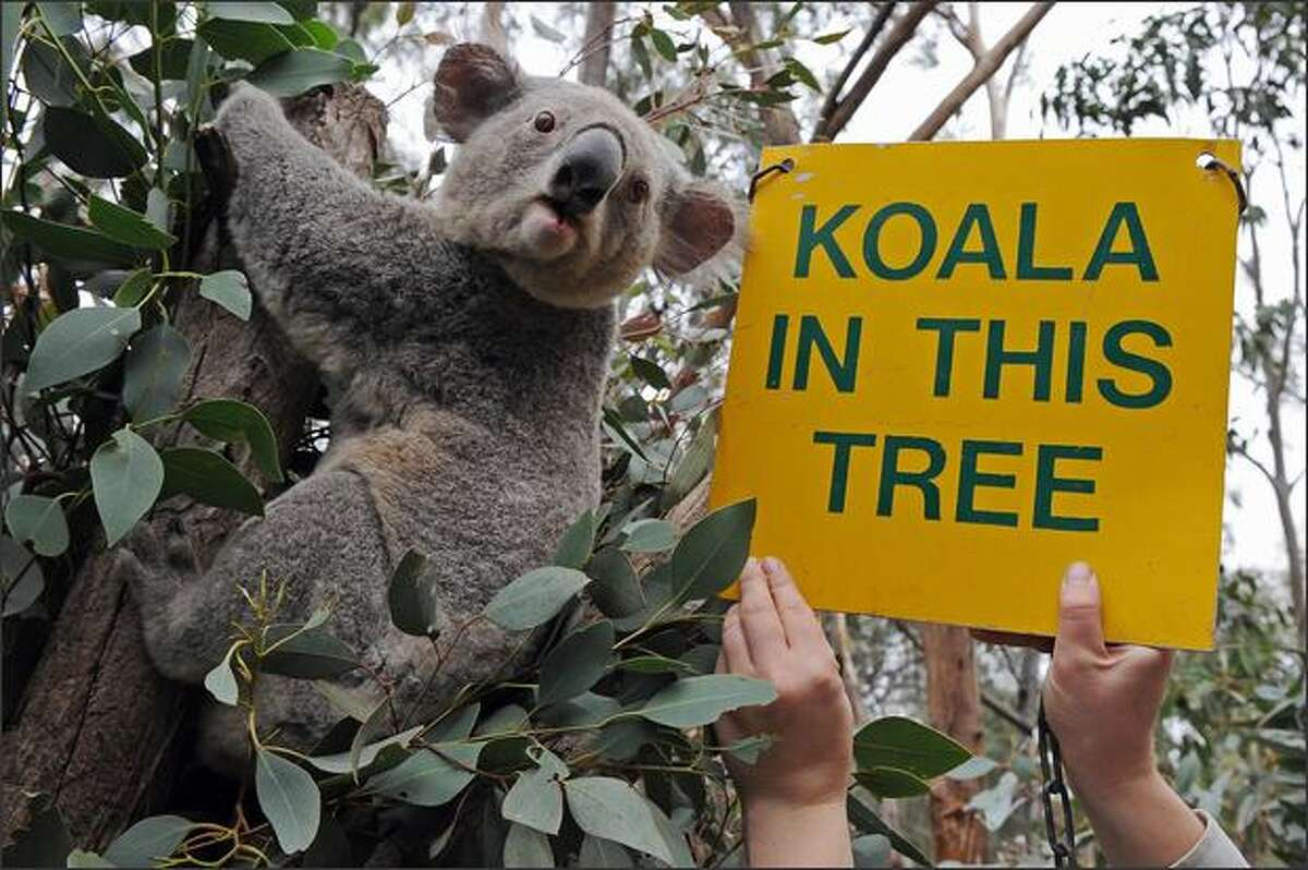 A zookeeper displays a sign designed to help visitors locate koalas (Phascolarctos cinereus) in the numerous eucalyptus trees at the Taronga Western Plains Zoo near Dubbo on May 31. The ash-coloured koalas have a very low metabolic rate for a mammal and rest motionless for about 16 to 18 hours a day in the gum trees -- hence the need to highlight the camouflaged, sloth-like creatures with signage.