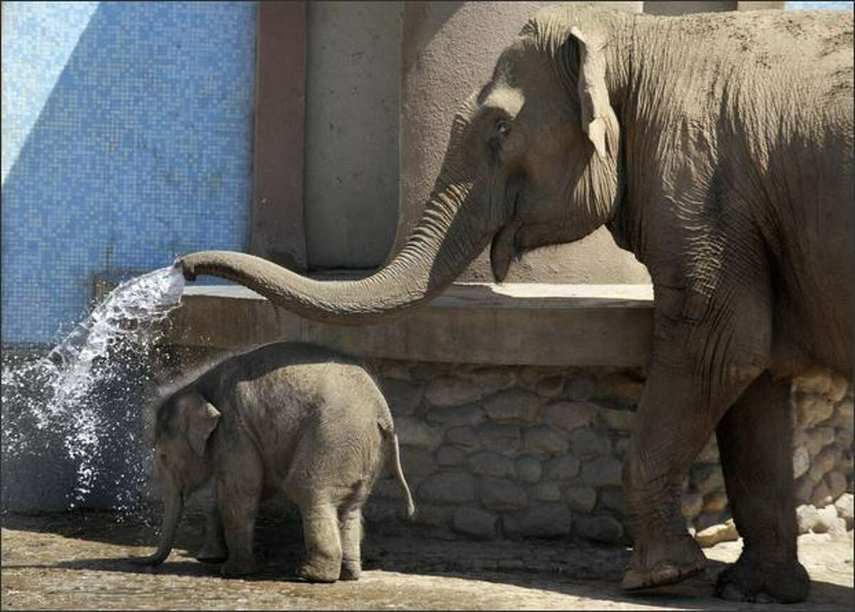 A one-month-old baby Asian elephant calf gets a shower from an adult elephant at the Moscow zoo on Monday. The animal, still unnamed and weighing around 100 kg, is the first elephant born at the Moscow zoo in over a dozen years.