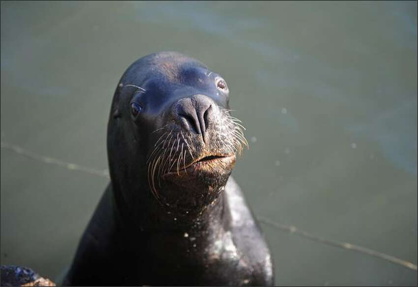 A sea lion remains in the water while being pictured in Punta del Este, Maldonado, east of Montevideo.