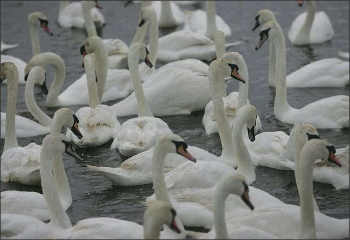 Some of the adult swans at Abbotsbury Swannery swim in the rain in Weymouth, England.