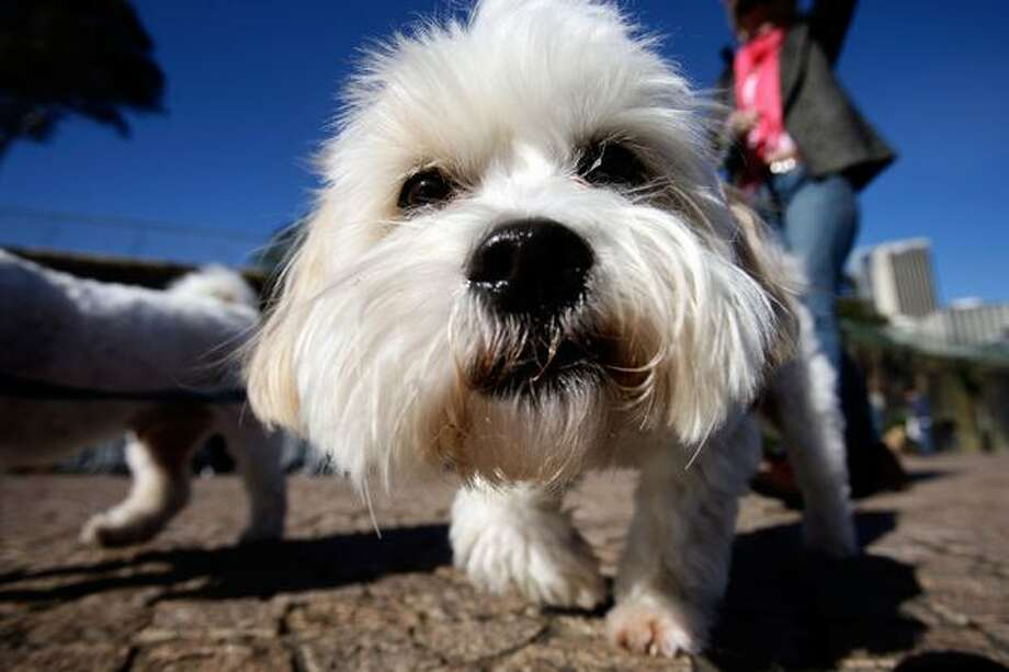 "A Maltese Terrier attends the ""Music for Dogs"" concert for canines as part of the Vivid LIVE festival at the Sydney Opera House forecourt on June 5, 2010 in Sydney, Australia. Photo: Getty Images / Getty Images"