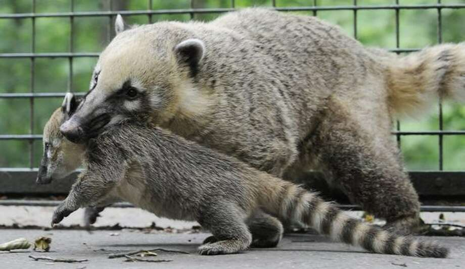 A baby coatis is carried by its mother in their enclosure at the zoo in the northern German city of Hanover. The young coatis, also known as the hog-nosed coons were born on April 20 in the zoo. Photo: Getty Images / Getty Images