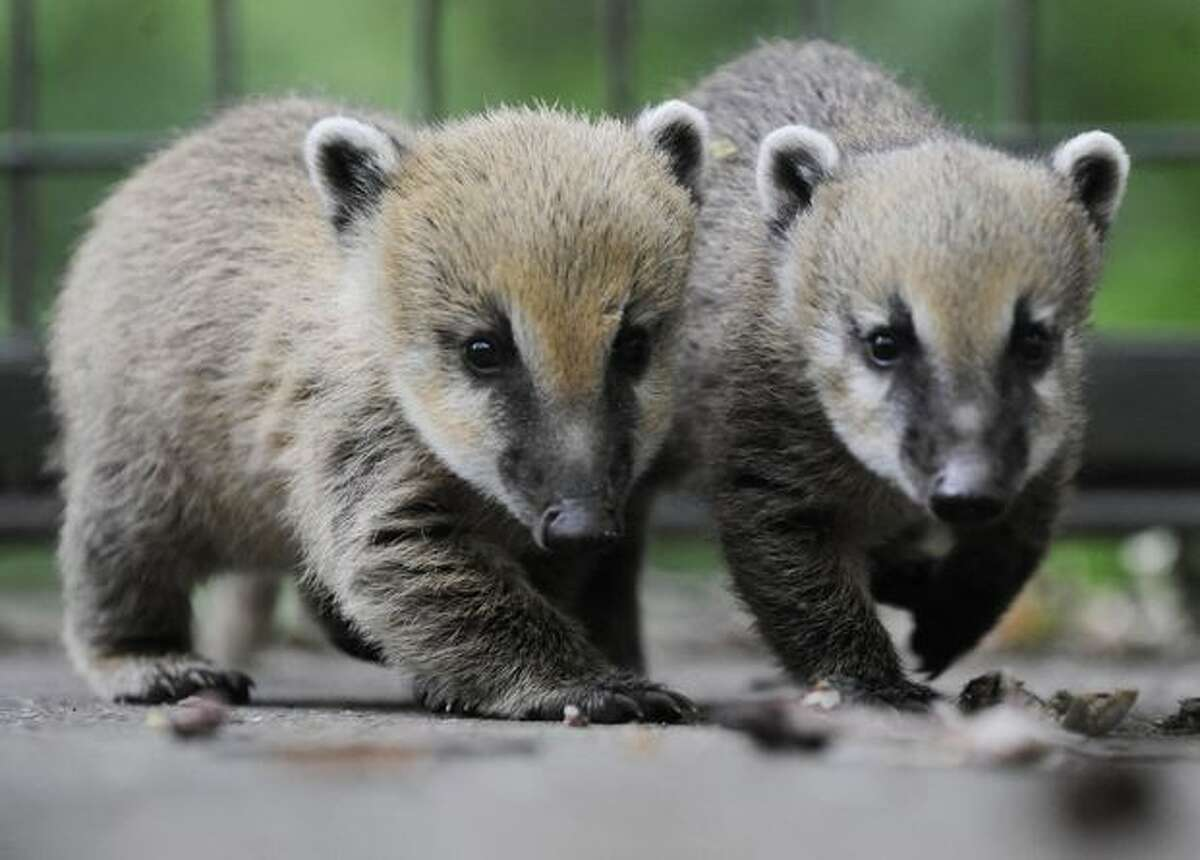 Two baby coatis play in their enclosure at the zoo in the northern German city of Hanover. The young coatis, also known as the hog-nosed coons were born on April 20 in the zoo.