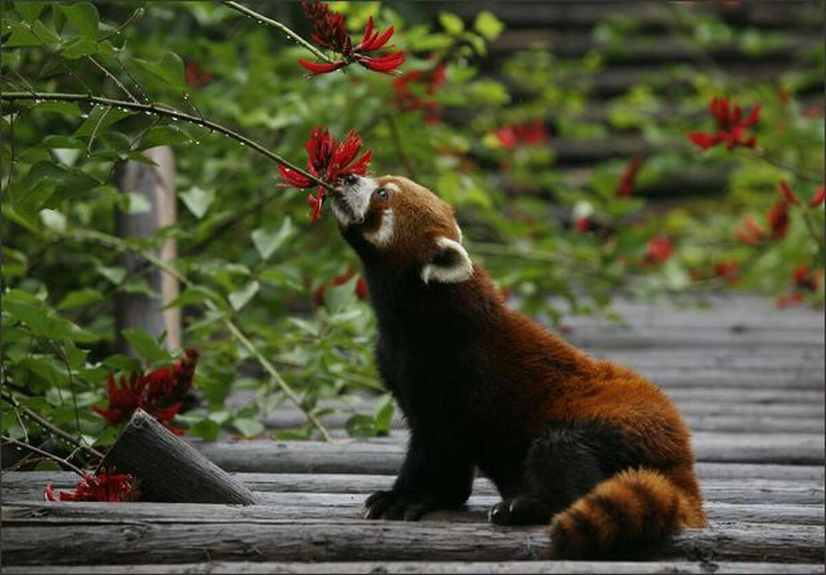 A red panda gets some water from a flower after a rain shower at the Panda Breeding Center in Chengdu.