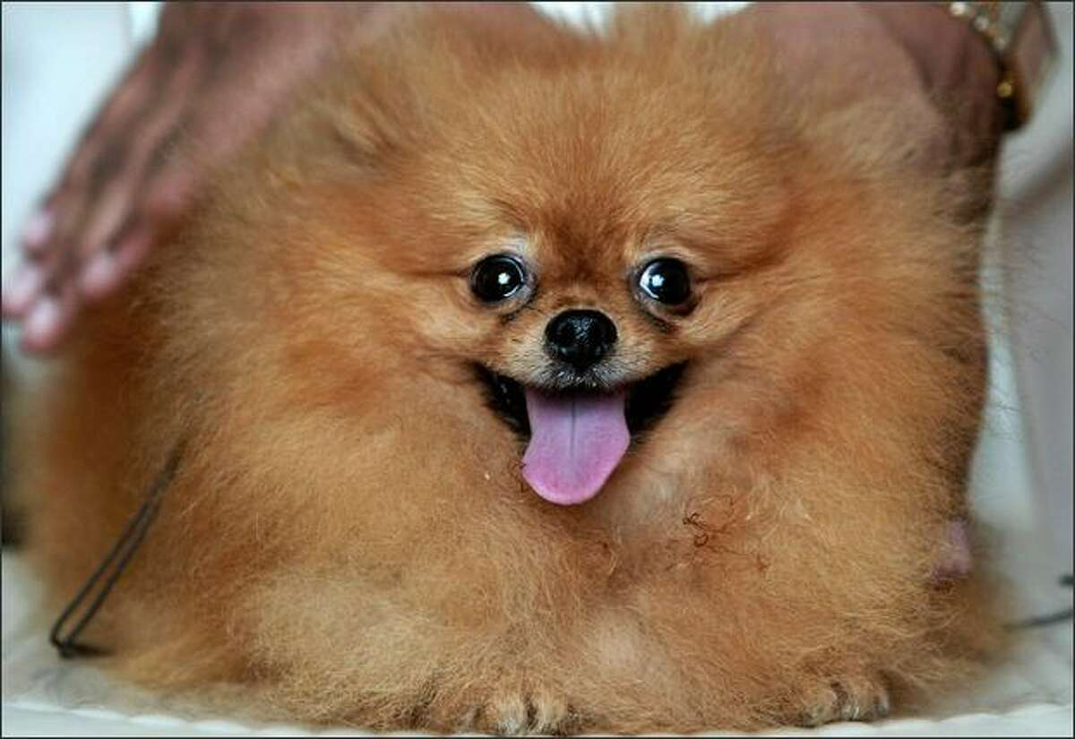A Pomeranian dog named