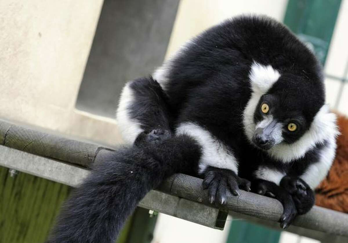 A black-and-white ruffed lemur sits in his enclosure at the Tierpark Friedrichsfelde zoo in Berlin on June 15, 2010. The animals are native to the rain forests of Madagascar.