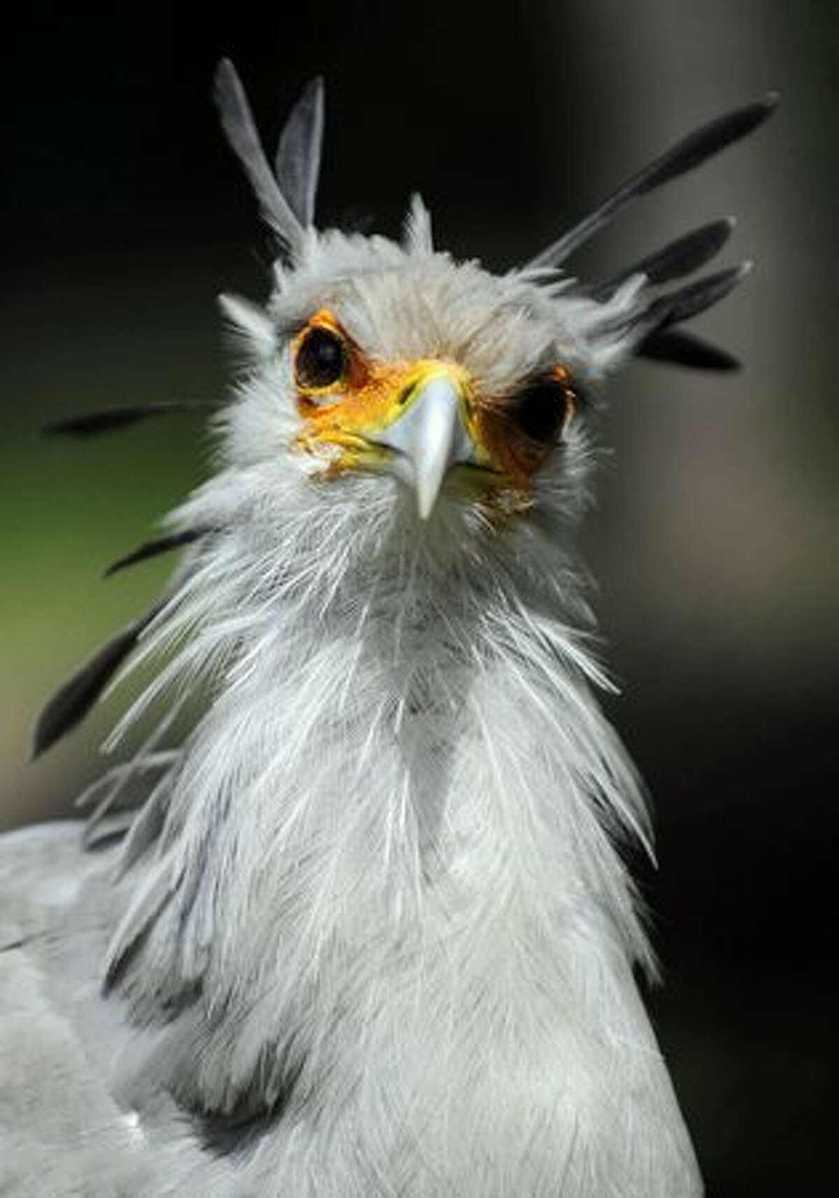 A secretary bird is pictured in his enclosure at the Tierpark Friedrichsfelde zoo in Berlin on June 15, 2010.